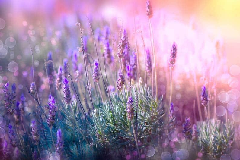زهور الخزام